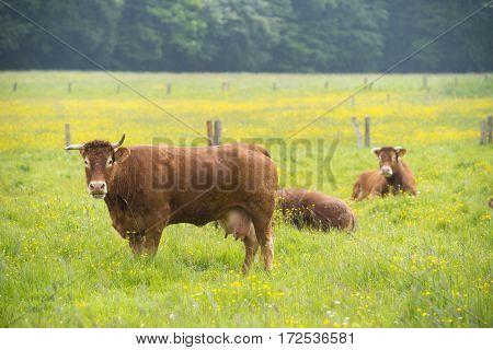 several limousine cows in a dutch landscape