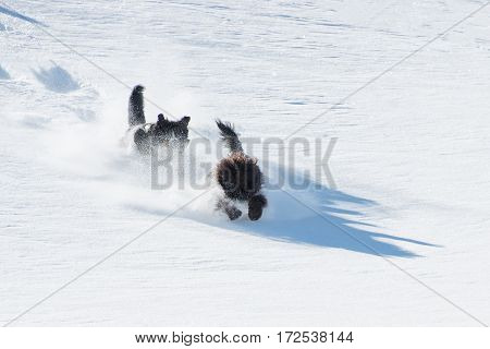 Two dogs run and jump in so much fresh snow downhill