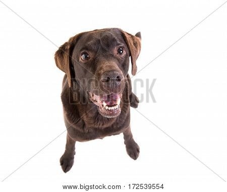 Brown labrador retriever sitting facing the camera seen from above isolated on a white background
