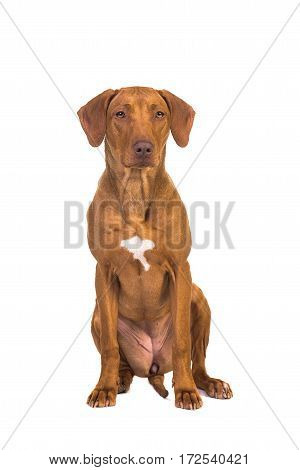 Pretty rhodesian ridgeback dog sitting facing the camera seen from the front isolated on a white background