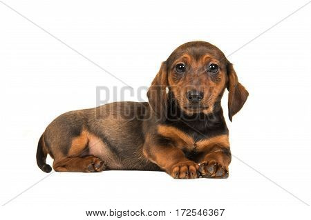 Lying down badger-dog puppy seen from the side with its head up facing the camera isolated on a white background