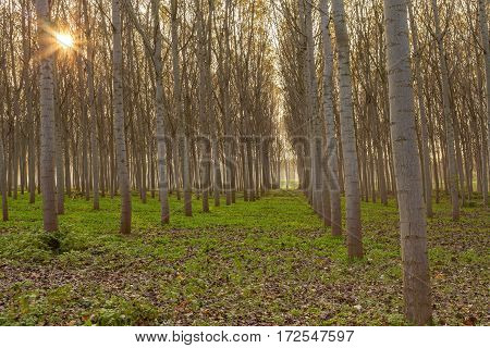 Poplars In The Forest On An Autumn Sunset