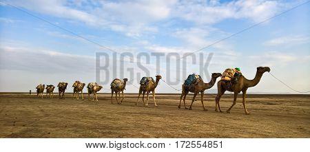 Transportation of salt slabs on camel Karum lake Danakil Afar Ethiopia