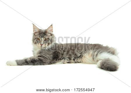 Portrait of kitten Maine coon on white background