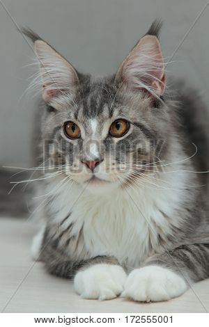 Close-up portrait of kitten Maine coon on grey background