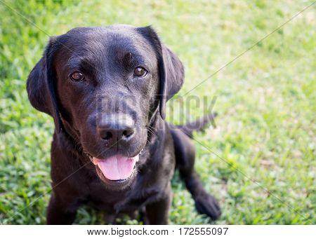 Beautiful black labrador retriever on a grass background