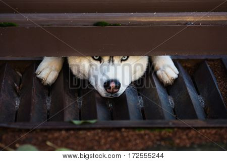 The gray and white husky looking into the camera under a fence sad dog. A pet