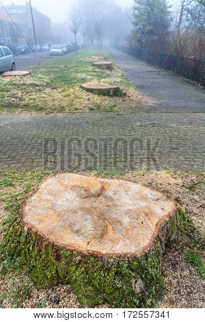 The Hague the Netherlands - February 18 2017: diseased trees removed from city street