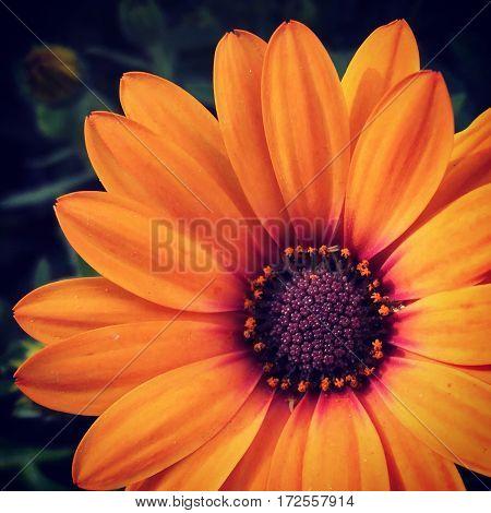 Orange daisy gerbera flower, colorful beautiful flower,