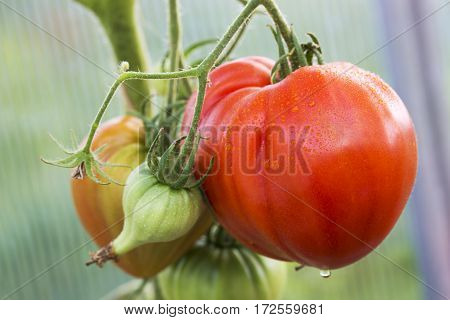Large meat tomatoes in the garden house.