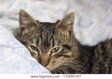tabby kitty cat lies on the bed