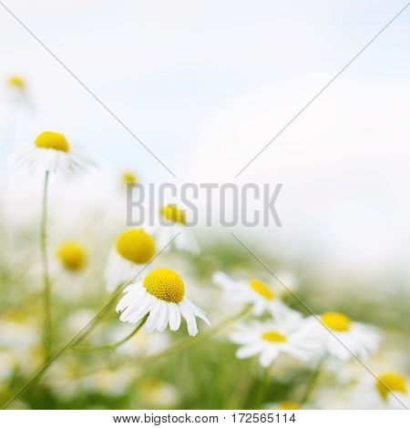 Chamomile flowers close up with soft focus
