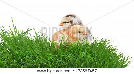 Two chickens in grass on white background.
