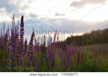 Lavender flower with ladybug close up in a field. Sunset on the background.
