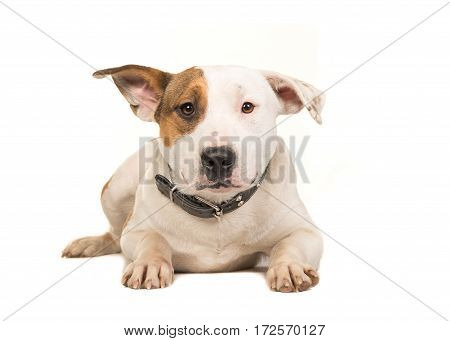Stafford terrier dog lying on the floor facing the camera seen from the front wearing a collar isolated on a white background
