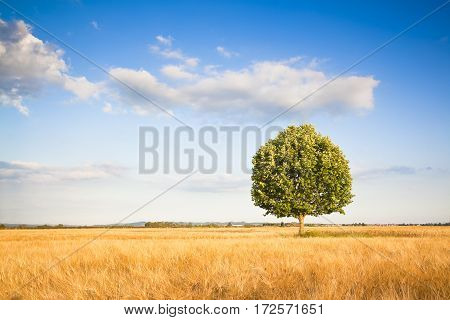 Isolated tree in a tuscany wheatfield - (Tuscany - Italy)