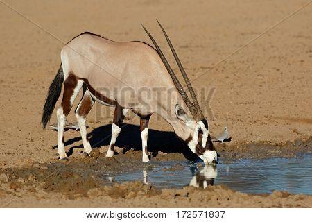 A gemsbok antelope (Oryx gazella) drinking water, Kalahari desert, South Africa