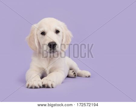 Cute golden retriever puppy lying on the floor facing the camera paws together on a soft purple background