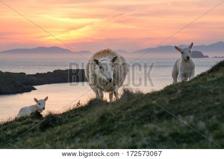 Female sheep and their two lambs on the Isle of Skye. In the background the sun is setting behind the Outer Hebrides.