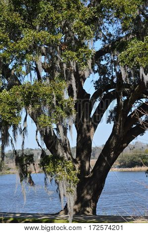 vertical shot of grand oak tree with Spanish moss