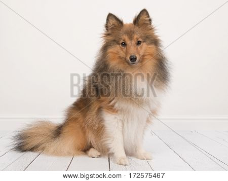 Sitting shetland sheepdog or sheltie seen from the side facing the camera in a white living room interior