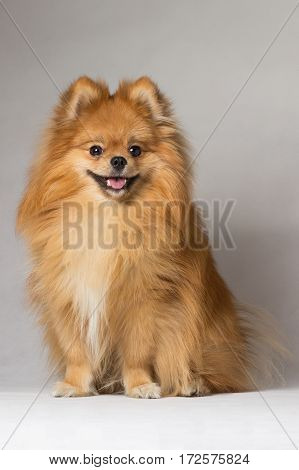 Auburn smiling dog breed in the studio Spitz