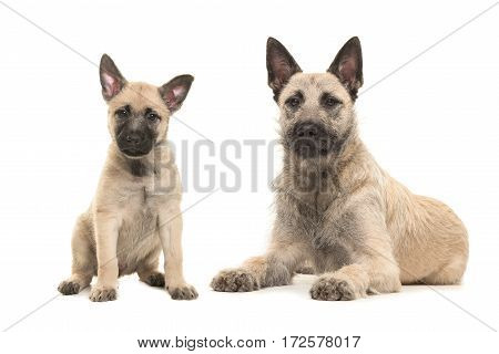 Blond Dutch wire-haired shepherd adult dog lying on the floor with a sitting puppy both facing the camera isolated on a white background