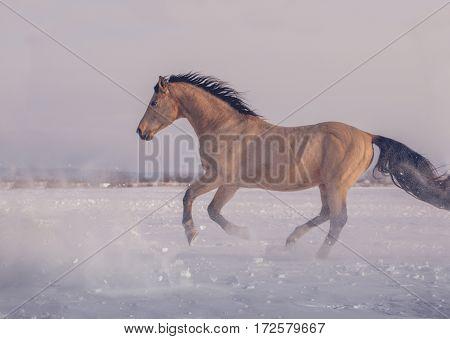 Buckskin stallion runs on snow in winter