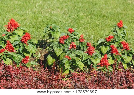 Red scarlet salvia plants in spring garden, copy space