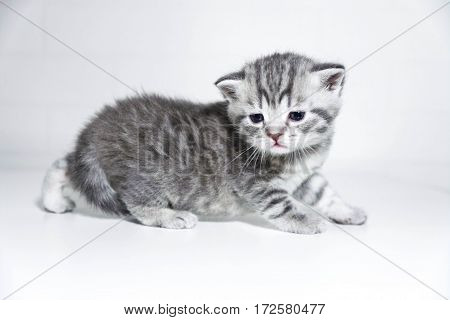 striped kitten cute toddler Shorthair silver color