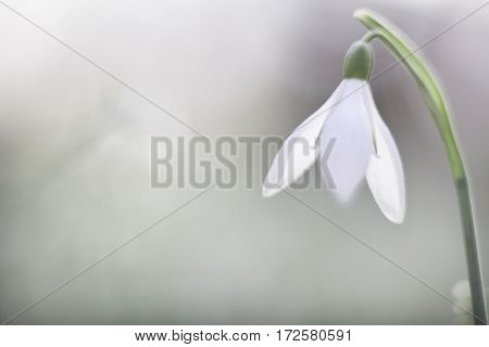 snow drops early spring white wild flower, Galanthus nivalis. Narrow DOF, soft focus image. Background with copy space