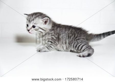 Color kitten, breed striped gray baby kitten. Profile, side view
