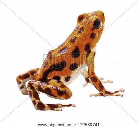 Poison dart or arrow frog, morph from Red Frog Beach, Bastimentos, Bocas del Toro,.Poisonous rain forest animal, Oophaga pumilio isolated on a white background.
