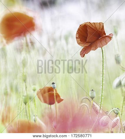 Red poppy wild flower field. Poppies are beautiful vibrant spring flowers. Image with soft background and narrow DOF.