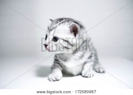 Kitten striped baby with a silver color. elegant kitten