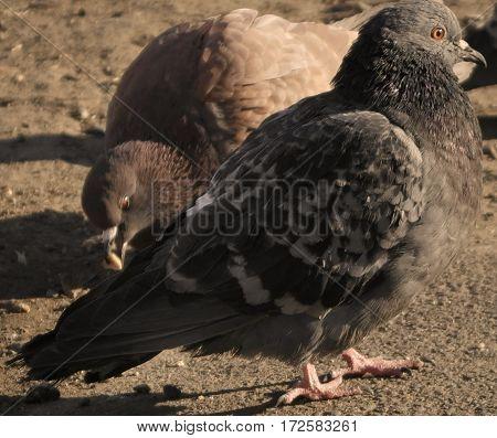 Pigeon, dove, two pigeons, gray pigeon closeup, city birds. Dove -  a bird of peace