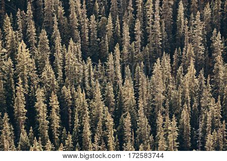 Forest abstract background in Banff National Park, Canada