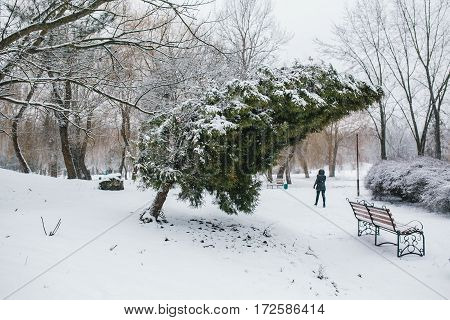 Thuja leaned over the bench in a snowy park