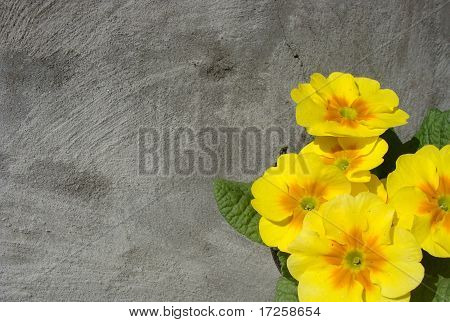 Yellow And Orange primula Flower In Front Of A Gray Grunge Wall