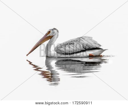 American White Pelican with a high-key treatment