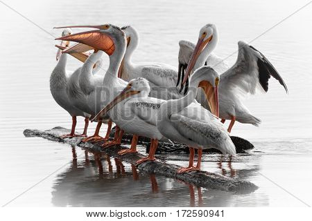 White pelicans gathered on a log, grooving with a pict.