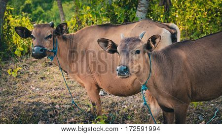 Balinese domestic cattle, Nusa Penida, Bali Indonesia