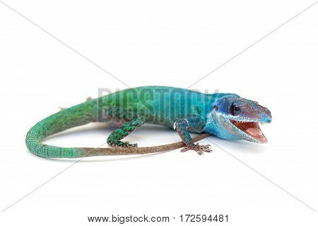 macro gecko lizard isolated on white background