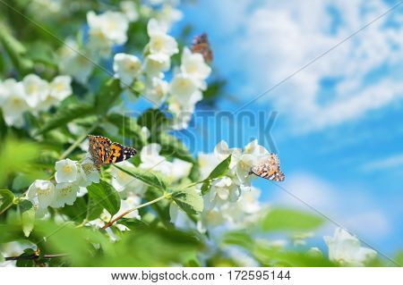 Spring background with flowering jasmine and butterflies on flowers
