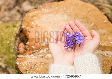 Closeup of woman's hand holding first spring flowers on old tree's stump. primroses or snowdrops in the forest.