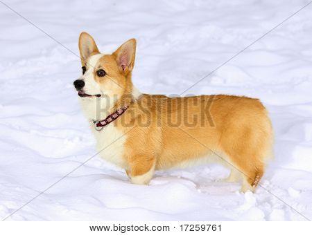 Dog breed Pembroke Welsh Corgi in snow poster