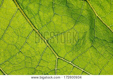 Fresh green burdock leaf texture backlit closeup. Natural foliage, botanic background, macro shot