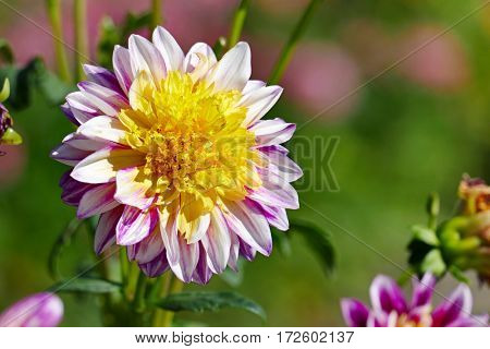 Two-colored dahlia on a background of a flower bed.