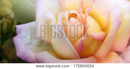 art spring or summer background; beautiful rose in the garden