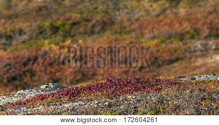 Close up, macro on red bear-berry on the ground. Autumn, fall in the mountains. Sunny vegetation.